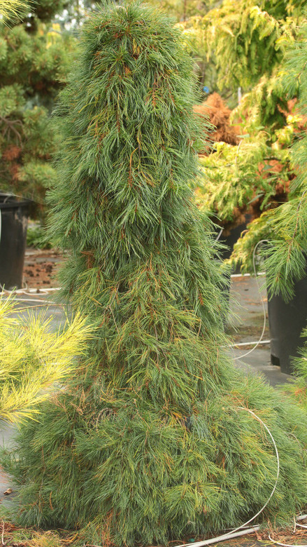 Long, blue-green needles cascade from this narrow, weeping conifer. Each branch gracefully droops down, creating a very slender tree. This plant was found as a seedling of 'Pendula'.