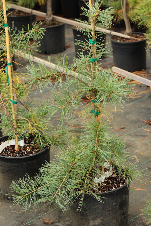 A strict weeping pine with somewhat clumped needle formation named for Bob Fincham and introduced along with 'Dianne's Soft Shoulders', a cultivar commemorating his late wife. Found as a seedling from 'Pendula'