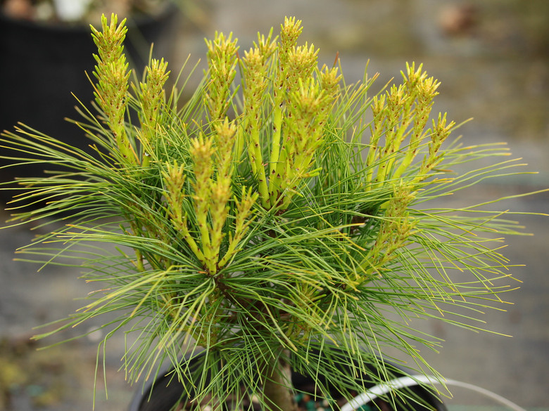The fairly long needles on this globose pine are a blue-green color. Very soft texture for this cute little pine.