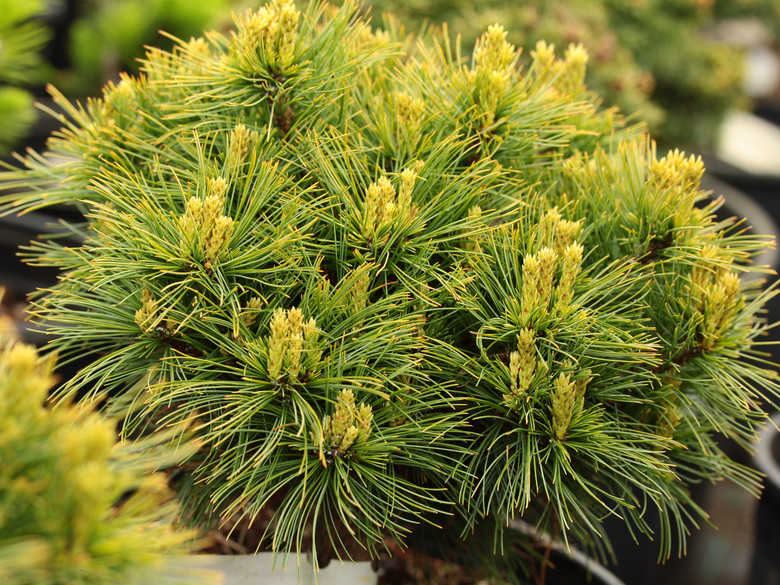 Blue-green needles are soft to the touch on this slow-growing, globose pine. It was found as a witch's broom at Gee Farms.