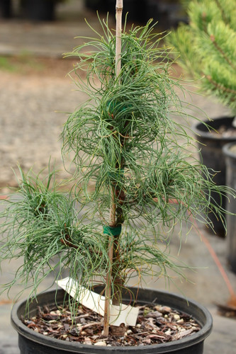 This new pine has wavy/crinkled needles, originating as a seedling of 'Contorta'. It was introduced by Brent Markus and named for his wife, Emily. Seems to be a pyramidal plant with a fascinating texture. The curvature of the needles is much tighter than that of similar varieties!