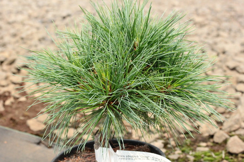 A slow-growing, globose pine with soft, blue-green foliage. Found as a witch's broom.