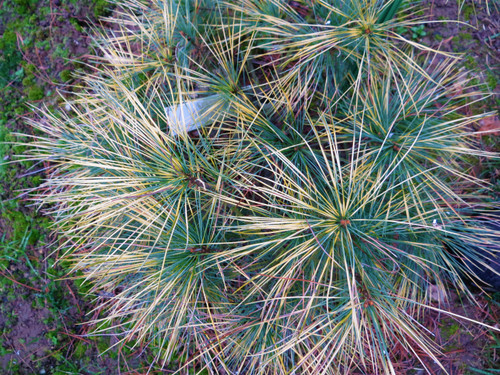 Bright golden-yellow variegation is banded on the needles of this dwarf, upright pine. Its beautiful, soft needles and dwarf form make it a splendid conifer for a rock garden.