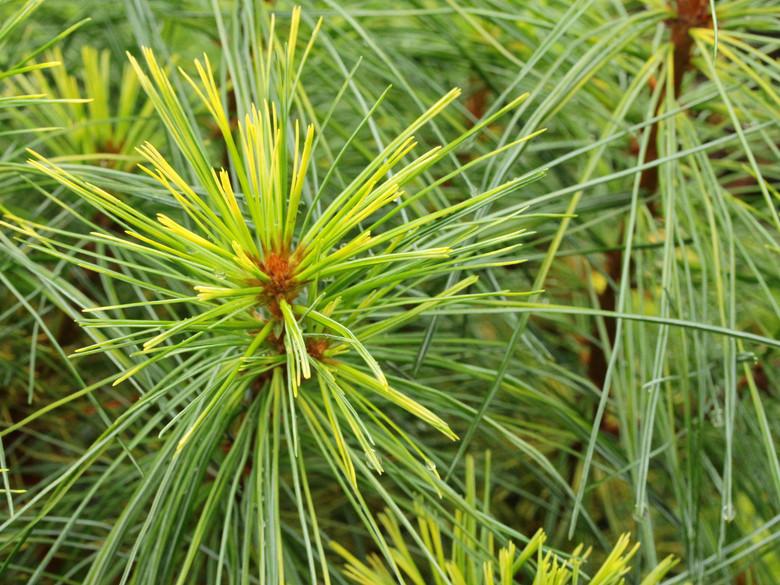 Pinus strobus 'Wendy'