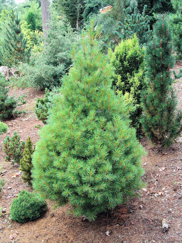 An upright, pyramid-shaped tree with soft, bright green foliage. Found by Sidney Waxman and named for his granddaughter.