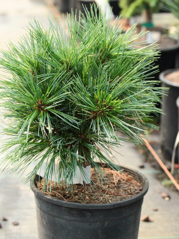 A dense, globose pine with fairly short, blue-green foliage. A rare conifer in the trade.