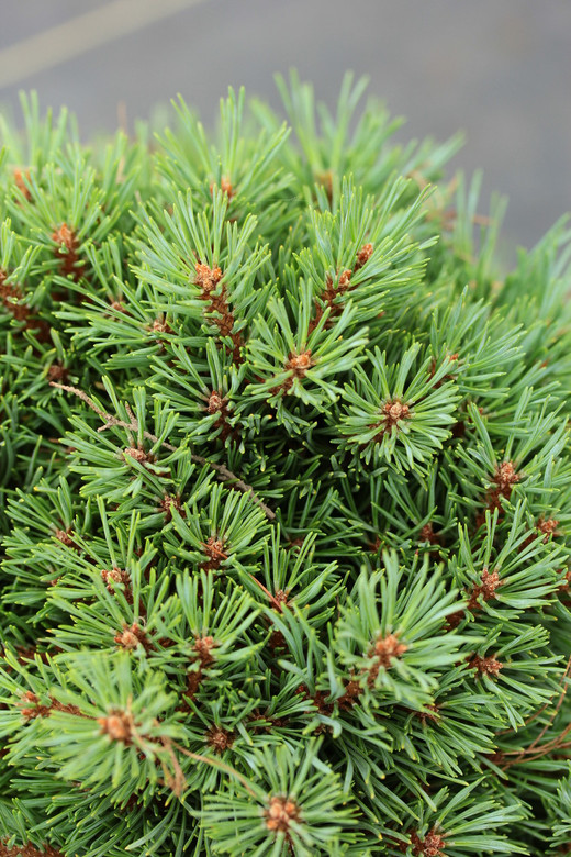 Blue-green needles are very short on this dense, bushy pine. Its pyramidal form and slow growth rate make it an excellent rock garden selection.