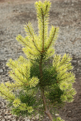 This relatively fast-growing pine has beautiful creamy-white new growth in spring. The color will eventually join that of previous years' growth with a dark green tone by late spring.