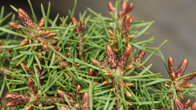 This slow-growing pine was bred by John Proudfoot of Scotland by hybridizing two slow-growing varieties. It has fairly short, bright green needles and a dense, globose habit.