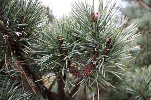 Pinus sylvestris 'Chantry Blue' _ Scots Pine _