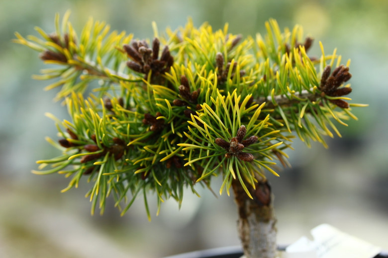 Bright yellow foliage on short, thick needles make this tree really glow, especially in winter. A new selection from Poland.