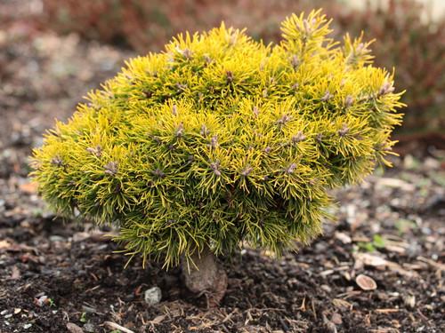 Pinus sylvestris 'Yellow Wola' _ Scots Pine _