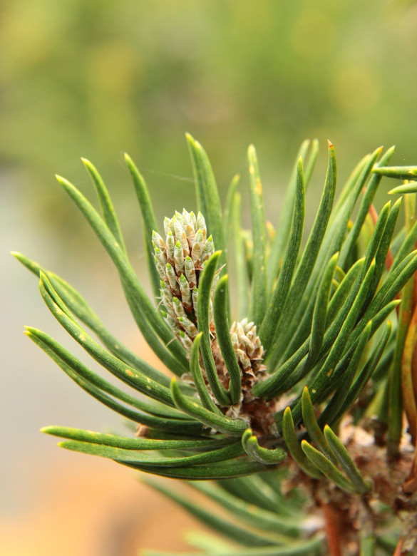 Incredibly thick, dark-green needles are held stiffly to the dense branches of this slow-growing upright pine. A very fascinating and uniquely-textured plant!