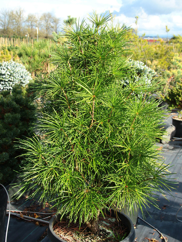 This rare Sciadopitys has remarkably thin needles that are exceptionally long. Perhaps the most distinctive of the umbrella pines. Peculiar in appearance but super cool!