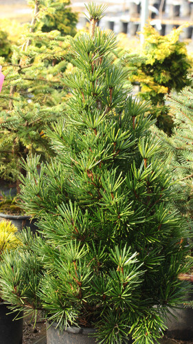 This dense, squat, pyramidal conifer has rich, dark-green foliage year-round. It is one of the slowest-growing varieties of Japanese umbrella pine.