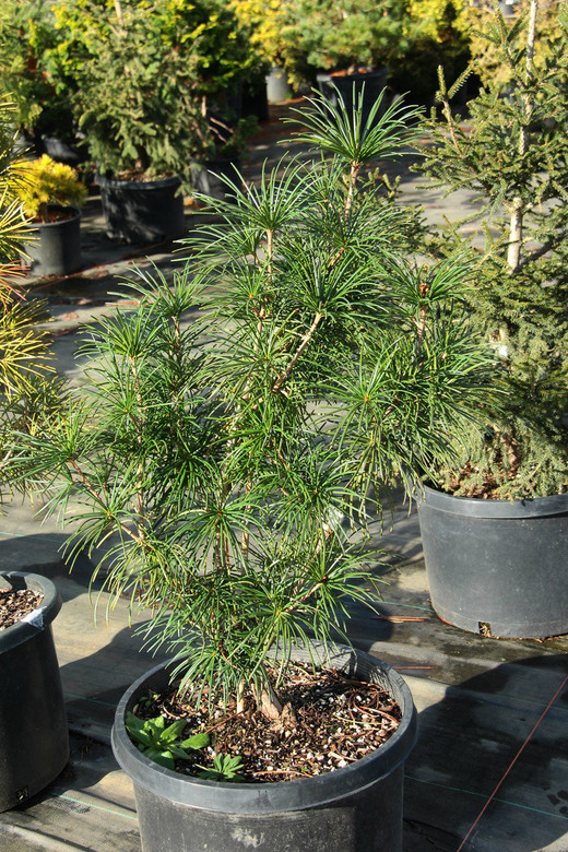 A unique variety of umbrella pine with a wide, pyramidal form and dense habit. A unique find from Edwin Smits in The Netherlands.