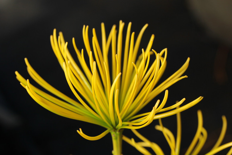 Long needles are a beautiful golden-yellow on this rare variety. A gorgeous variety that glows even in the winter!