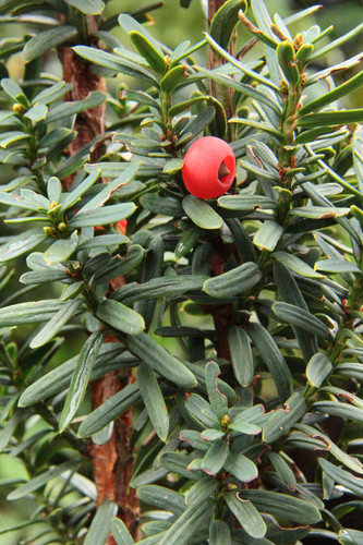 Taxus baccata 'Green Column' _ English Yew _