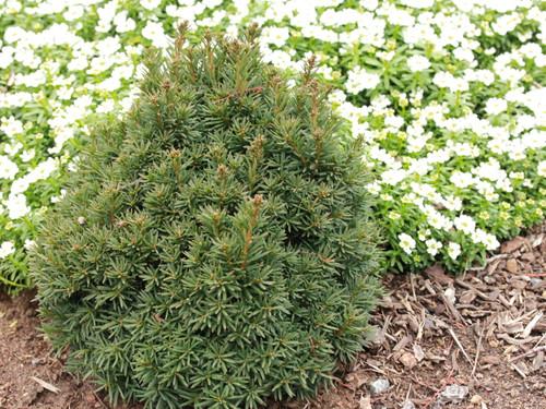 Taxus baccata 'Green Diamond' _ English Yew _
