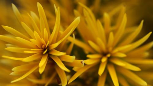 Taxus baccata 'Bultinck Orange Beauty' _ English Yew _