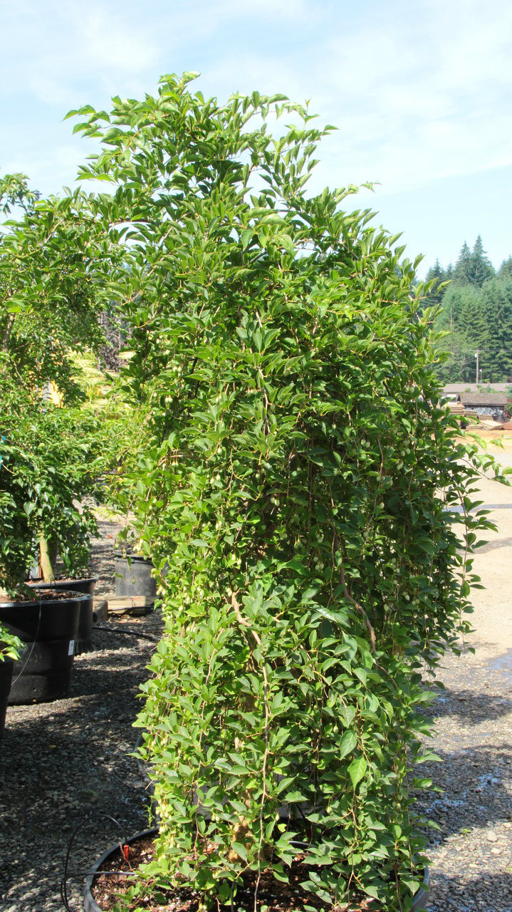 Styrax Japonica Fragrant Fountain Japanese Snowbell Conifer
