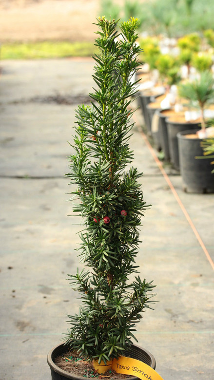 Smokestack is a dense, columnar yew with dark green foliage and a tight habit. Smokestack is a great name for this unique and handsome variety.
