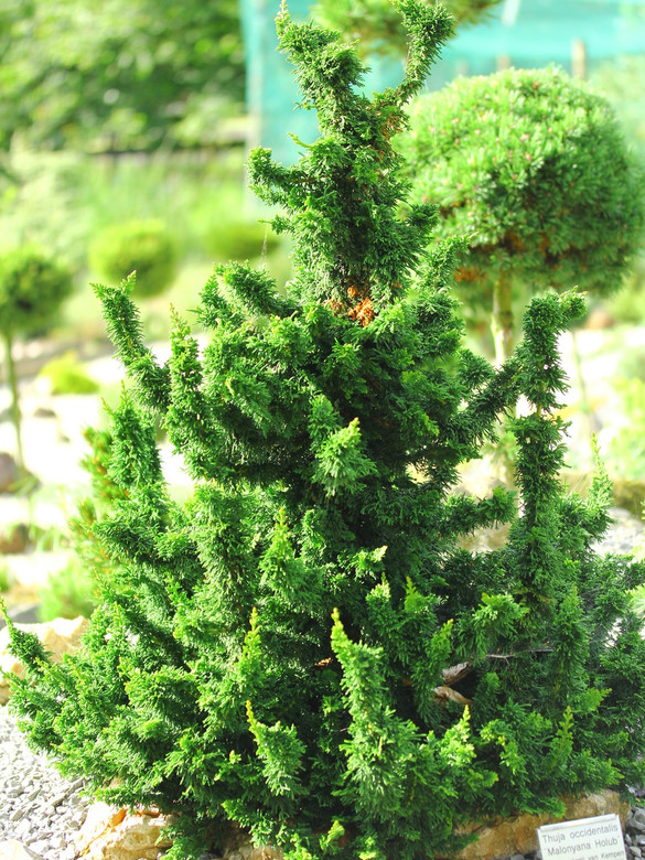 Thick, dark-green foliage develops on tall, columnar stems. This unique branching structure gives a fascinating structure to this conifer--sculptural and striking!