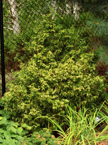 This dwarf, somewhat upright Western Red Cedar will form a dense little bush, rarely forming a leader, with beautiful cream-colored branch tips, most noticeable in spring.