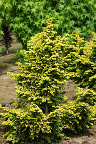 A dwarf conical hemlock with golden foliage that brightens throughout the year and tend to be very brittle. It was found by Samuel Everitt in Eaton, New Hampshire in 1918.