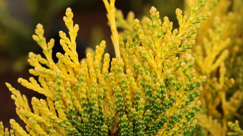 This upright Western Red Cedar has foliage with a golden-orange color especially noticeable on the tips of the foliage.