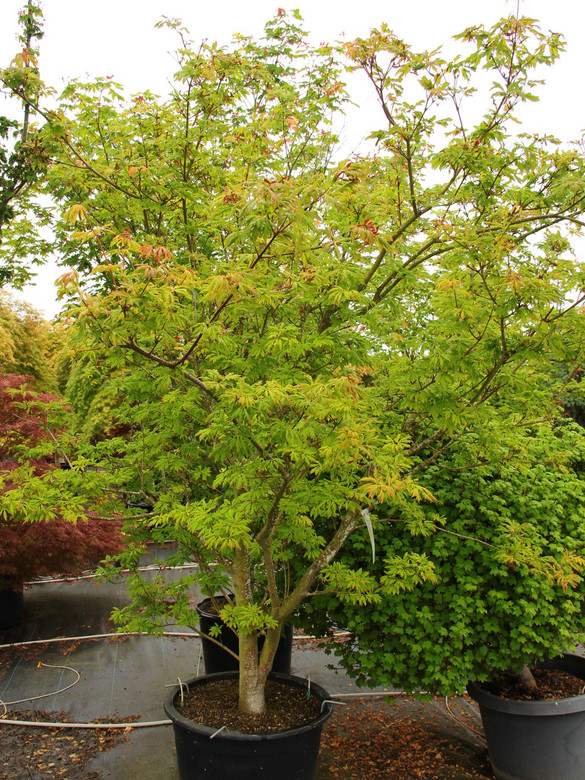 This dissected variety has yellow-green leaves which are green in the summer. Fall color is excellent yellow to bright red.
