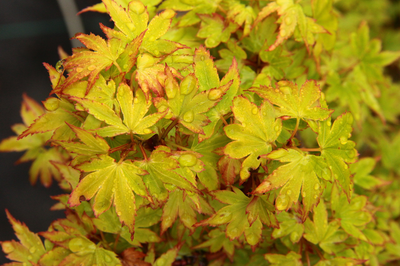 Acer Palmatum Coonara Pygmy Specimen 1017