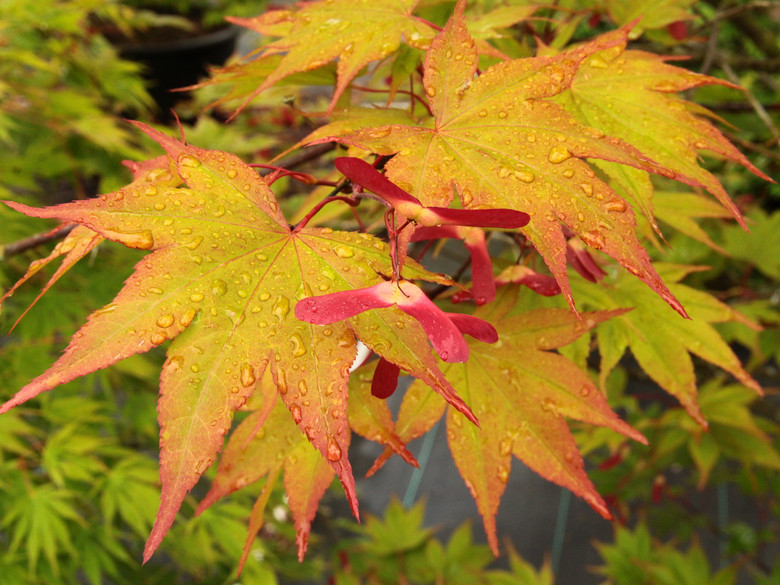 Leaves emerge with orange and red highlights before they turn green. The very clean green leaves have red petioles. Fall colors are vibrant reds and yellows.