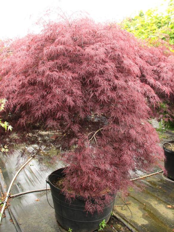 Acer Palmatum Red Filigree Lace Specimen 1084