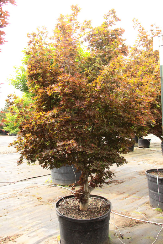 """This dwarf upright Japanese maple is highly prized for its incredibly cute, star-shaped foliage. Bright red in spring, the leaves turn green during summer. Then, a second flush of new bright red growth creates a striking contrast against the mature green foliage. Sold by some nurseries as 'Beni hoshi,' which means """"red star,"""" we prefer using the English translation."""