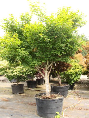 A medium sized tree with large, almost circular leaves. Leaves are yellow-green with red tips in the spring. Tip color fades and leaf is green for summer, brilliant red and orange in fall.