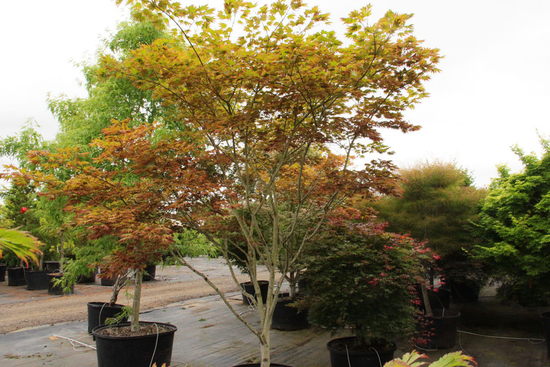 """True to its name that means """"elegant,"""" this great new variety of Full Moon maple has burgundy leaves with yellow-green lobe mid-veins that produce a crisp contrast.  Think Granny Smith veins with Red Delicious lobes!  Beautiful chartreuse and magenta seeds add to the tree's appeal. Absolutely wonderful!"""