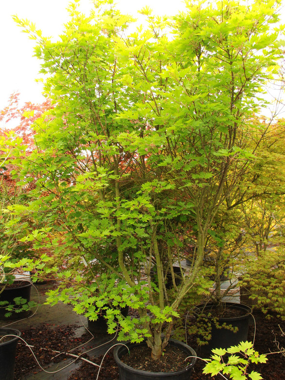 "Brilliant fall foliage of orange and scarlet produces a dazzling show on this sturdy Full Moon maple. The almost circular leaves emerge yellow-green in spring and darken gradually to a dark green by the end of summer. Dependable and attractive. Also known as ""Ogurayama."""