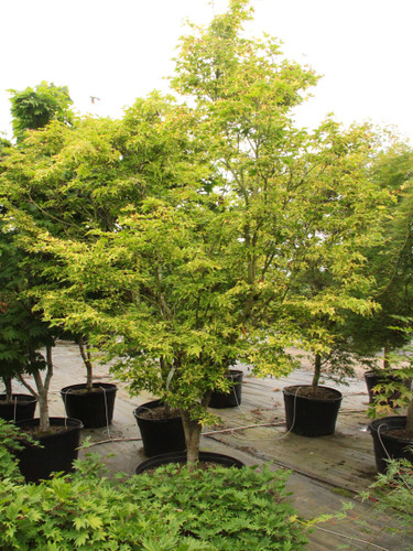 The light green leaves of this small, slow-growing Japanese maple display attractive variegation throughout the growing season. In spring, buttery margins and pink highlights grace the leaves; in summer, the variegation becomes gold or yellow. In fall, the two-tone effect bursts back with a blend of yellow and orange. Protection from hot afternoon sun assures optimal health.