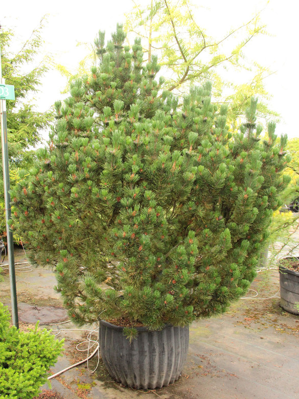 Sometimes the name really makes the point, as is the case with this yellow-tipped mugo pine. Bright green needles have yellow points that are most prominent in winter. The coloring, most vibrant at the tips, gradually fades toward the base of the needles.