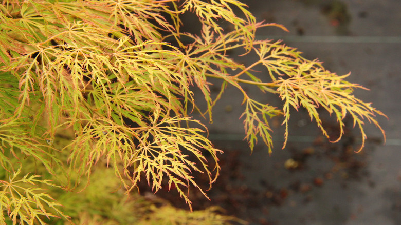 The deeply dissected leaves of this compact Japanese maple emerge a very light lemon yellow and become lime green in summer, producing an refreshing two-tone effect.  In fall, foliage changes to orange and yellow. 'Lemon Lime Lace' forms an irregular mound with semi-pendulous branches. Dissectum.