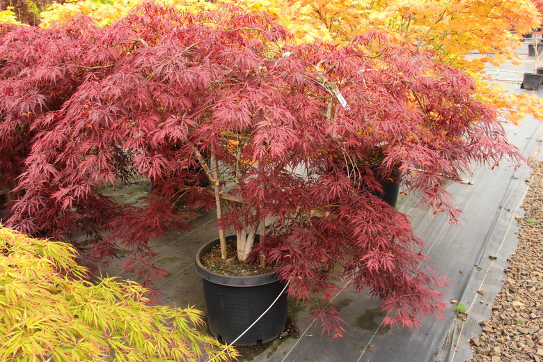"""This laceleaf Japanese maple, named """"tribute to the mountain,"""" dates to 1710, but its fine qualities continue to recommend it. Hardy and strongly cascading, it has deep red spring foliage that darkens to purple-red, which holds well through summer even in areas with high temperatures and humidity.  Bright red fall color creates a beautiful show. Dissectum."""