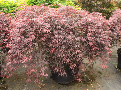 "This laceleaf Japanese maple, named ""tribute to the mountain,"" dates to 1710, but its fine qualities continue to recommend it. Hardy and strongly cascading, it has deep red spring foliage that darkens to purple-red, which holds well through summer even in areas with high temperatures and humidity.  Bright red fall color creates a beautiful show. Dissectum."