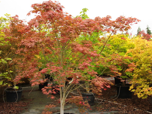 Large, conspicuously marbled, deeply cut leaves display a remarkable show of seasonal colors.  In spring, lime veins contrast with white and pink backgrounds.  In summer, leaves gradually change to reddish veins against purple-red backgrounds.  Fall finishes with flame tones: orange centers with red margins. The tall, spreading tree/shrub gets as wide as tall, about 10 feet.