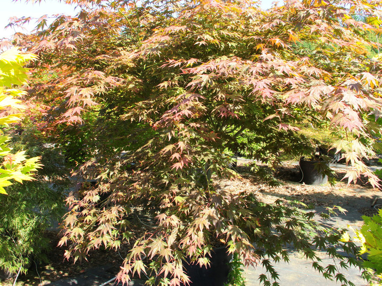 Hardy, sturdy and wide-spreading, this Japanese maple boasts bright purple-red spring leaves that darken in summer. In sun, leaves become shiny bronze-purple, or they take on more bronze-green in the shade. In fall, flashy crimson prevails.