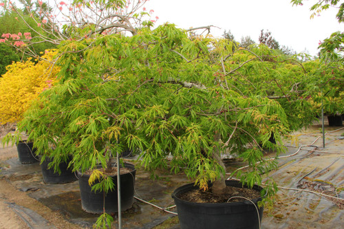 This low, spreading Full Moon maple has deeply divided, large green leaves that turn brilliant shades of golden orange to deep red in fall. Distinctive seeds, in colors from chartreuse to magenta, stand upright and give the weeping green tree extra flair.