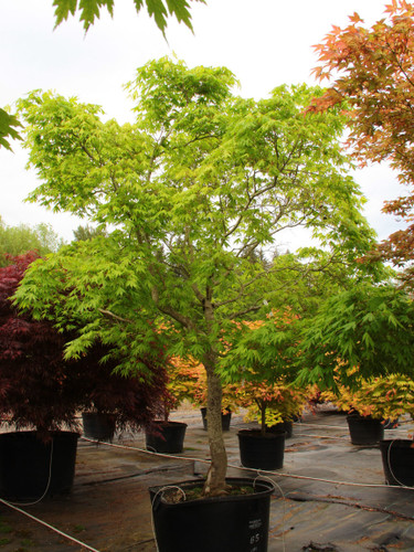 This slow-growing Japanese maple reaches about 7 tall and 4 wide in ten years. Its cream and green leaves have purple tips and burgundy branchlets in the spring. Fall finds multiple shades of yellow and orange decorating the tree.