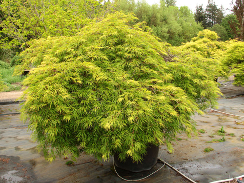 """True to its name that means """"green spreading,"""" this laceleaf Japanese maple only gets about 3' tall, but can spread out much wider. More prostrate than other mounding forms, it can survive beneath snow in colder climates and looks great in the foreground of a landscape where it can spread out.  Dark green, dissected foliage goes gold and crimson in fall. Dissectum."""