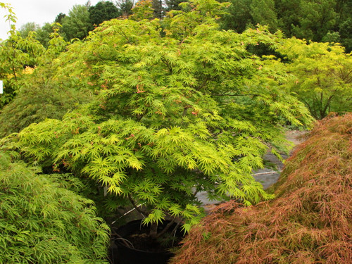 Glossy green leaves have rolled lobe margins similar to Acer palmatum 'Trompenburg.' Foliage and fruit are light green. Fall color is orange-red and gold.