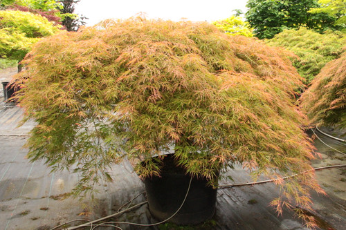This broad, mounding laceleaf Japanese maple develops orange-green spring coloring that can last into summer when planted in full sun. By late summer, the leaves fade to green, but they brighten up again in fall, turning brilliant orange. Dissectum.